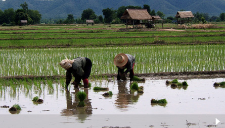 Planting season for rice farmers in rural Thailand.